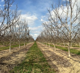 California Walnut Orchard - Winter