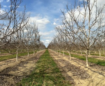 California Walnut Orchard - Winter