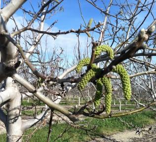 Spring Chandler Walnut Orchard