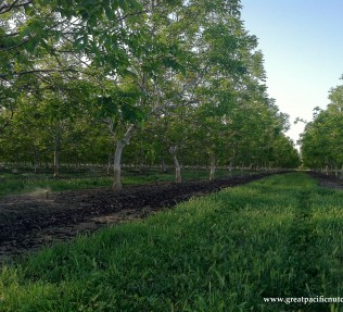 Chandler Walnut Orchard - California Walnuts