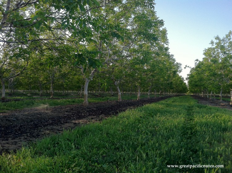 Chandler Walnut Orchard - California Walnuts